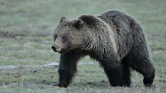 Grizzly sow (Hammerchewer) Tags: grizzlybear bear sow animal wildlife outdoor yellowstone