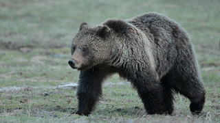 Grizzly sow
