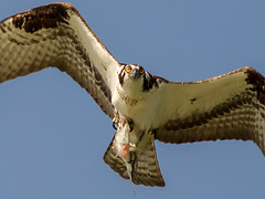IMG_4220 Osprey and fish (cmsheehyjr) Tags: cmsheehy colemansheehy nature wildlife bird osprey hawk fishhawk pandionhaliaetus rappahannock virginia