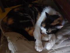 fa caldo (fotomie2009) Tags: fauna animal cat gatto feline felino calico female gatta tricolore