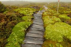 Cushion Plants - Cradle Plateau (Caleb McElrea) Tags: cradlemountainlakestclairnationalpark cradlemountain unesco worldheritagesite tasmaniansouthwestwilderness tasmania wilderness