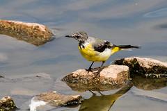 IMG_7796.jpg (TonyJ 3006) Tags: birds greywagtail places slimbridge