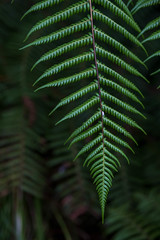 somewhere in New Zealand... (Robert Borden) Tags: fern green nature rich hamilton newzealand nz fuji fujifilmxt2 50mm 50mmlens hamiltongardens botanicalgardens travel detail