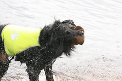 Külitse 2018 203 (reimo.zoober) Tags: gordon setter dog