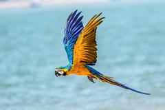 Macaw over Landguard Point at Felixstowe (ian_tilden) Tags: parrot raresight wow landguardpoint northsea sea felixstowe freeflight macaw bird