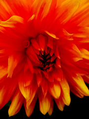 The Flaming Dahlia (Steve Taylor (Photography)) Tags: flames alight fire digitalart black orange yellow newzealand nz southisland canterbury christchurch northnewbrighton flower dahlia petals contrast closeup macro