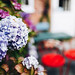 Close up of hydrangea flower. Outdoor cafe background