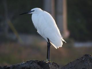 Garça branca pequena (Egretta garzetta)