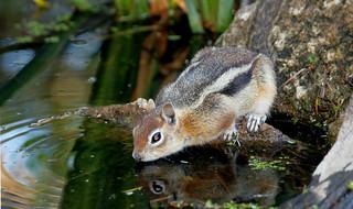 Golden-mantled Ground Squirrel (Spermophilus lateris); Santa Fe National Forest, NM, Thompson Ridge [Lou Feltz]