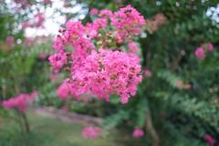 Minolta 24 2.8 MD VFC (Mi-Fo-to) Tags: bokeh test minolta 24 vfc 28 vintage lens lente sfocato nature flower fiori md