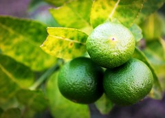 Fresh limes on lime tree (www.icon0.com) Tags: lime closeup tree lemon ripe natural tropical green organic leaf refreshing citrus sour citric vitamin color refreshment juice ingredient fruit fresh nature food juicy freshness