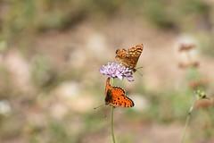 Nymphalidae a pares (esta_ahi) Tags: santmagídelabrufaganya lepidoptera insectos fauna mariposa papallona butterfly nymphalidae santmagídebrufaganya pontils concadebarberà tarragona spain españa испания