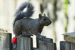 Mister Squirrely Whirley (Lou Musacchio) Tags: squirrel animals backyards nature