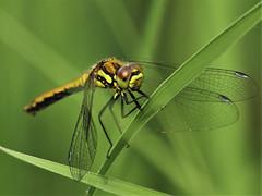 dragonfly (norbert.wegner) Tags: