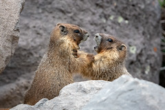 Take That Back! (TNWA Photography (Debbie Tubridy)) Tags: yellowbelliedmarmot marmot youngmarmot action fighting playing animal mammals wildlife rockpile boulders siblings interaction behavior activity habitat environment wild colorado nature spring conflict natural outdoors debbietubridy tnwaphotography