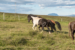 Þráinn frá Flagbjarnarholti is a gentle stallion (olikristinn) Tags: 09082018 2018 august august2018 holtaoglandsveit holtsmúli holtsmúli1 holtsmúlii iceland icelandichorses landsveit rangárþingytra southiceland suðurland fráholtsmúlai hestar horses