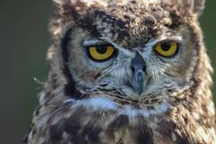 23.Búho de bengala. (Manupastor43) Tags: mediterraneo comunidadvalenciana portrait retrato naturaleza animales owl búhodebengala 150600mm tamron españa peñiscola 200d eos canon