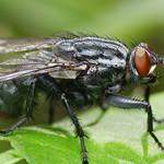 Just a Flesh Fly (Sarcophagidae) thumbnail