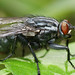 Just a Flesh Fly (Sarcophagidae)