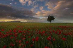 In the middle of the fields (Rafael Díez) Tags: españa larioja casasblancas paisaje arboles atardecer sunset nubes amapola primavera filtro rafaeldíez