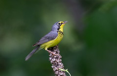 Canada Warbler. (mandokid1) Tags: canon 1dx 600mm birds warblers