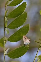 sentiero.farfalle (21) (Guido.C.) Tags: sentiero farfalle gambolò
