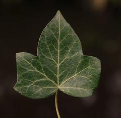 Turn over a new leaf (eric zijn fotoos) Tags: linesymmetry holland macro nederland noordholland sonyrx10m3 macromonday's hmm leaf blad netherlands thenetherlands nature natuur tuin garden
