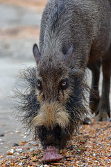 Bornean bearded pig, Bako National Park (_JLC_) Tags: borneo bako kuching malasia malaysia sarawak asia sudesteasiático naturaleza nature wildlife fauna cerdo jabalí jabalíbarbudo susbarbatus pig borneanbeardedpig canon canon6d eos 6d 70200f4is 70200
