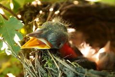 Amselküken - blackbird chick (picccus) Tags: amselküken blackbird chick heat hitze