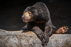 Just People Watching (helenehoffman) Tags: omnivore conservationstatusvulnerable southeastasia mammal sandiegozoo sunbear ursidae nature helarctosmalayanus honeybear animal bear