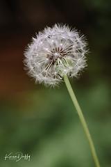 FL9 (Karen Duffy PhotoArt) Tags: dandelion flower plant daisy florets pollination seeds