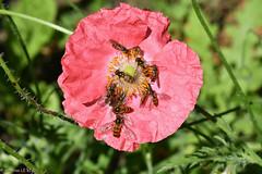 Dans mon jardin. Syrphes sur Pavot d'Islande (Annelise LE BIAN) Tags: alittlebeauty pavotdislande fleurs insectes syrphes animaux coth coth5