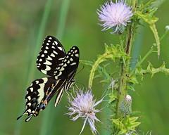 Palamedes Swallowtail (Papilio palamedes) (Mary Keim) Tags: taxonomy:binomial=papiliopalamedes centralflorida marykeim orlandowetlandspark