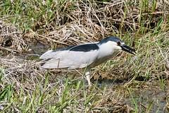 2017 Black-crowned Night Heron (DrLensCap) Tags: blackcrowned night heron ledge road horicon marsh national wildlife refuge waupun wisconsin wi bird robert kramer