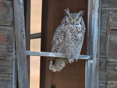GHO 2018 (got2snap) Tags: gho great horned owl oldhouse old abandoned country canon canada sx60 bird birdofprey raptor perch evening may