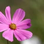 Schmuckes Blümchen in rosa thumbnail