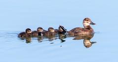 Ruddy Ducks (Ed Sivon) Tags: america canon nature lasvegas wildlife wild western water southwest ducks desert clarkcounty vegas flickr reflection bird henderson nevada