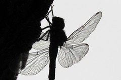 Silhouette of Dragon Fly on a Tree (Joseph Hollick) Tags: dragonfly blackandwhite insect macro silhouette