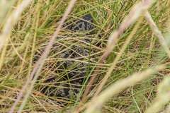 Adder - Viper berus (Matchman Devon) Tags: adder viper berus ayrmer cove south hams ringmore