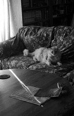 Nobuo in California in 2013 (sjrankin) Tags: 15july2013 15august2018 animal cat nobuo grayscale couch livingroom shinglesprings california northerncalifornia sunlight sunbeam table