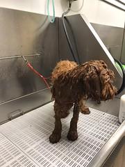 Ginger's Finn getting a bath!