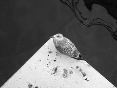 kiel2018P8151318 (ghoermann) Tags: deu deutschland düsternbrook kiel schleswigholstein bird