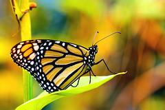 DSC02288 (Argstatter) Tags: monarch tagfalter butterfly makro insekt bokeh schmetterling gelborange