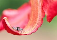 Petal Hammock (dianne_stankiewicz) Tags: flower spider jumpingspider nature wildlife hammock