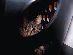DSC01257 (MykeOwns) Tags: tabbycat tabby cat cats