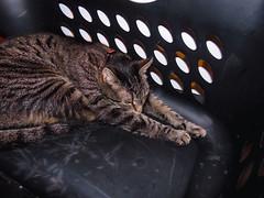 DSC01252 (MykeOwns) Tags: tabbycat tabby cat cats