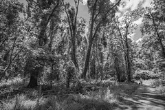 Into The Woods (Modkuse) Tags: dog thedogandherlady riverparknorth nature natural greenvillenc northcarolina easternnc easternnorthcarolina monochrome bw blackandwhite nikon nikondslr nikond700 wideangle wideanglezoomlens tokina acros trees