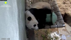 2018_08-16l (gkoo19681) Tags: beibei chubbycubby fuzzywuzzy adorableears naptime treatspool snuggles compromise toocute makingitwork safe stillababy comfy precious darling amazing meltinghearts curledup ccncby nationalzoo