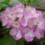 Au jardin, les rois de l'été hydrangea macrophylla