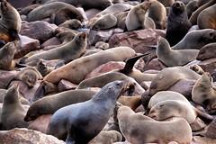 Seals colony (ganagafoto) Tags: ganagafoto africa namibia seals foche otarie ocean oceano capecross colony colonia sealreserve